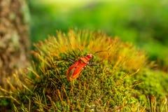 Het mos en het Insect onder Zon glanzen Royalty-vrije Stock Foto
