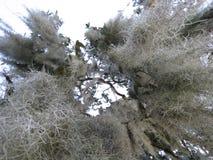 Het mos van cipresbomen Stock Foto