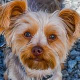 Het nadenken voor het Puppy royalty-vrije stock afbeelding