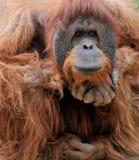 Het nadenkende Mannetje van de Orangoetan Stock Afbeelding