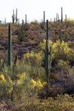 Het Nationale Monument van de Cactus van de Pijp van het orgaan Stock Foto