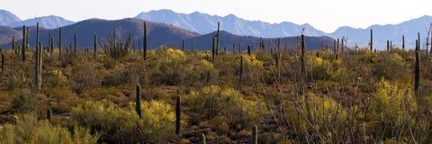 Het Nationale Monument van de Cactus van de Pijp van het orgaan Stock Afbeeldingen