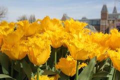 Het Nationale Museum van AMSTERDAM, NEDERLAND Rijksmuseum met gele tulpen Amsterdam, Nederland stock foto's
