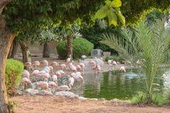 Het nationale park Abu Dhabi van de flamingomangrove in de Verenigde Arabische Emiraten Royalty-vrije Stock Foto