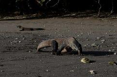 Het nationale park van de Komododraak stock afbeelding