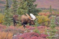 Het Nationale Park van Denali van stierenamerikaanse elanden (alces alces), Alaska Stock Afbeelding