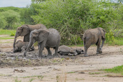 Het Nationale Park van Tanzania - van Tarangire Stock Foto