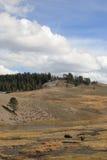 Het Nationale Park van Yellowstone - Weidende Buffels Stock Foto