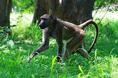 Het nationale park Zimbabwe van Victoria Falls stock foto