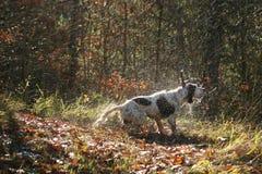 Het natte hond schudden Royalty-vrije Stock Foto's