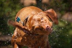 Het natte Schudden van de Hond Vizsla Royalty-vrije Stock Foto's