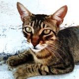 Het natuurlijke leuke bruine gezicht van de gestreepte katkat en groene ogen royalty-vrije stock afbeeldingen