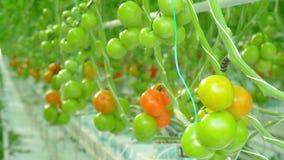 Het natuurlijke tomaten groeien stock videobeelden