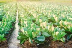 Het natuurlijke water geven van landbouwgewassen, irrigatie De koolaanplantingen groeien op het gebied plantaardige rijen De land stock foto