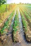 Het natuurlijke water geven van landbouwgewassen, irrigatie De koolaanplantingen groeien op het gebied plantaardige rijen De land royalty-vrije stock foto