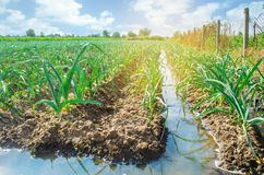 Het natuurlijke water geven van landbouwgewassen, irrigatie De koolaanplantingen groeien op het gebied plantaardige rijen De land stock afbeelding