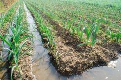Het natuurlijke water geven van landbouwgewassen, irrigatie De koolaanplantingen groeien op het gebied plantaardige rijen De land royalty-vrije stock fotografie