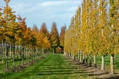 Het Nederlandse gevormde kinderdagverblijf van exclusief espaliered decoratieve die bomen, aanplanting van bomen met horizontale  stock afbeelding