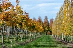 Het Nederlandse gevormde kinderdagverblijf van exclusief espaliered decoratieve die bomen, aanplanting van bomen met horizontale  stock foto's