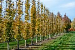 Het Nederlandse gevormde kinderdagverblijf van exclusief espaliered decoratieve die bomen, aanplanting van bomen met horizontale  royalty-vrije stock foto's