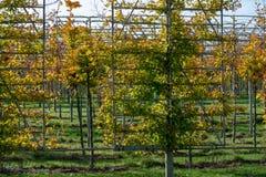 Het Nederlandse gevormde kinderdagverblijf van exclusief espaliered decoratieve die bomen, aanplanting van bomen met horizontale  stock fotografie
