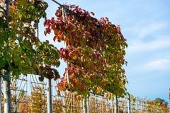 Het Nederlandse gevormde kinderdagverblijf van exclusief espaliered decoratieve die bomen, aanplanting van bomen met horizontale  stock foto