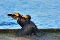 Het neemt twee aan tango - Kleine Zwarte Aalscholvers Royalty-vrije Stock Afbeeldingen