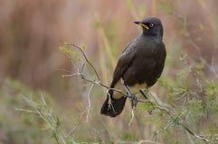Het neergestreken bonte starling gefotografeerd in Zuid-Afrika Stock Foto