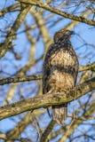 Het neerstrijken Eagle Stock Afbeeldingen