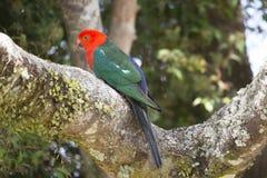 Het neerstrijken Koning Parrot Royalty-vrije Stock Foto