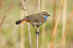 Het neerstrijken mannelijke Blauwborst bij droog gras royalty-vrije stock fotografie