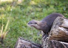 Het neerstrijken Otter stock foto