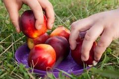 Het nemen van een fruitnectarine Stock Foto's