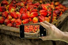 Het nemen van foto van verse palmolievruchten met mobiele telefoon royalty-vrije stock foto