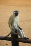 Het nemen van rust vervet aap op de omheining Grappige foto Krugerpark Beroemde wijngaard Kanonkop dichtbij schilderachtige berge Royalty-vrije Stock Fotografie
