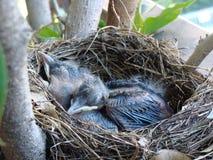 In het nest Stock Afbeelding