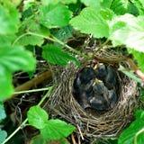 Het nest Royalty-vrije Stock Afbeelding