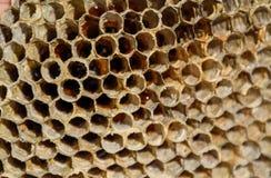 Het nest is esp, polist het espnest aan het eind van het het fokkenseizoen Voorraden van honing in honingraten Esphoning royalty-vrije stock afbeelding
