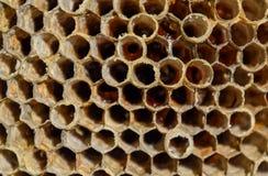 Het nest is esp, polist het espnest aan het eind van het het fokkenseizoen Voorraden van honing in honingraten Esphoning stock afbeelding
