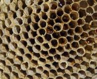 Het nest is esp, polist het espnest aan het eind van het het fokkenseizoen Voorraden van honing in honingraten Esphoning Vespa stock fotografie