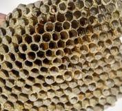 Het nest is esp, polist het espnest aan het eind van het het fokkenseizoen Voorraden van honing in honingraten Esphoning Vespa royalty-vrije stock foto's