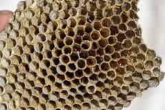 Het nest is esp, polist het espnest aan het eind van het het fokkenseizoen Voorraden van honing in honingraten Esphoning Vespa royalty-vrije stock afbeelding