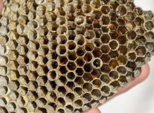Het nest is esp, polist het espnest aan het eind van het het fokkenseizoen Voorraden van honing in honingraten Esphoning Vespa stock afbeeldingen
