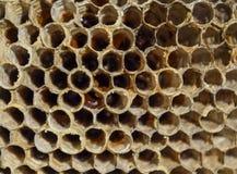 Het nest is esp, polist het espnest aan het eind van het het fokkenseizoen Voorraden van honing in honingraten Esphoning Vespa stock afbeelding