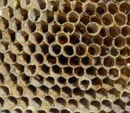 Het nest is esp, polist het espnest aan het eind van het het fokkenseizoen Voorraden van honing in honingraten Esphoning Vespa stock foto's