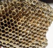 Het nest is esp, polist het espnest aan het eind van het het fokkenseizoen Voorraden van honing in honingraten Esphoning Vespa royalty-vrije stock afbeeldingen