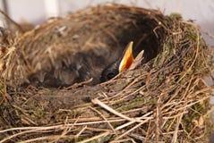 Het nest van Bird´s Royalty-vrije Stock Afbeeldingen