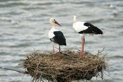Het nest van Ciconia Royalty-vrije Stock Afbeeldingen