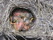 Het Nest van de baby Royalty-vrije Stock Foto's