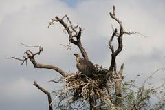 Het nest van de gier Royalty-vrije Stock Afbeelding